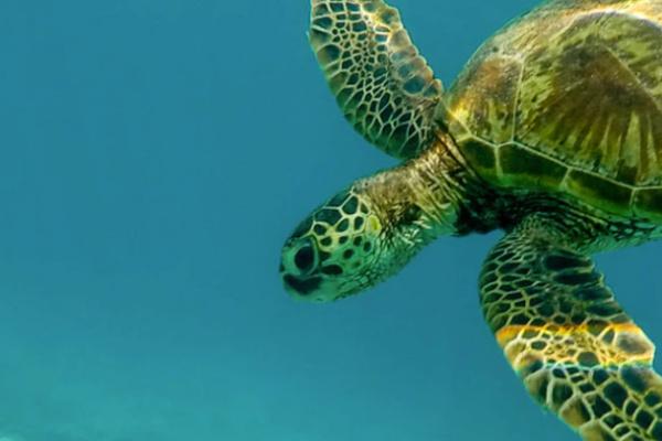 海で海亀と泳ぐ夢
